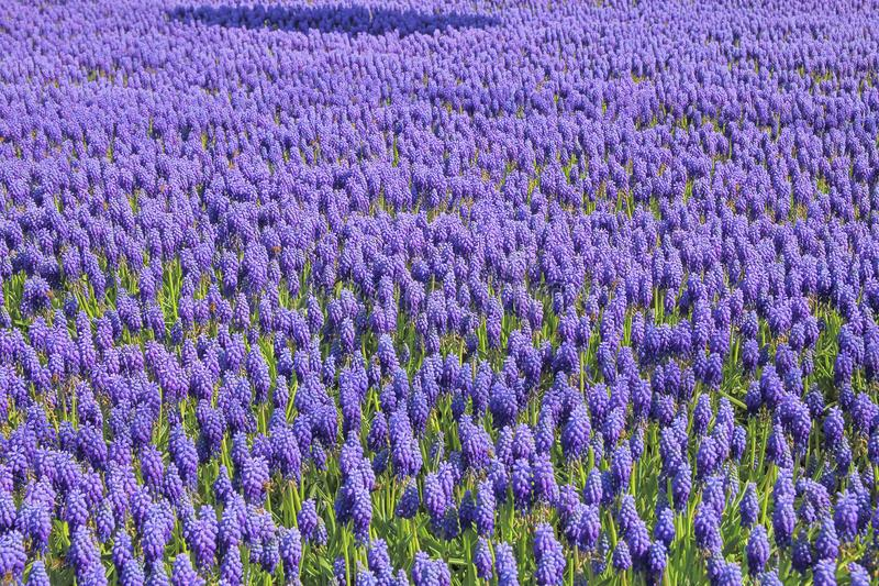 Spring flowers - Muscari blue royalty free stock photography