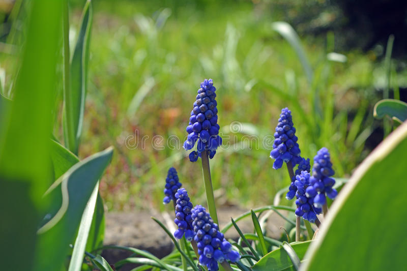 Spring Flowers Muscari Mill blue bunches of grapes close-up. royalty free stock photo