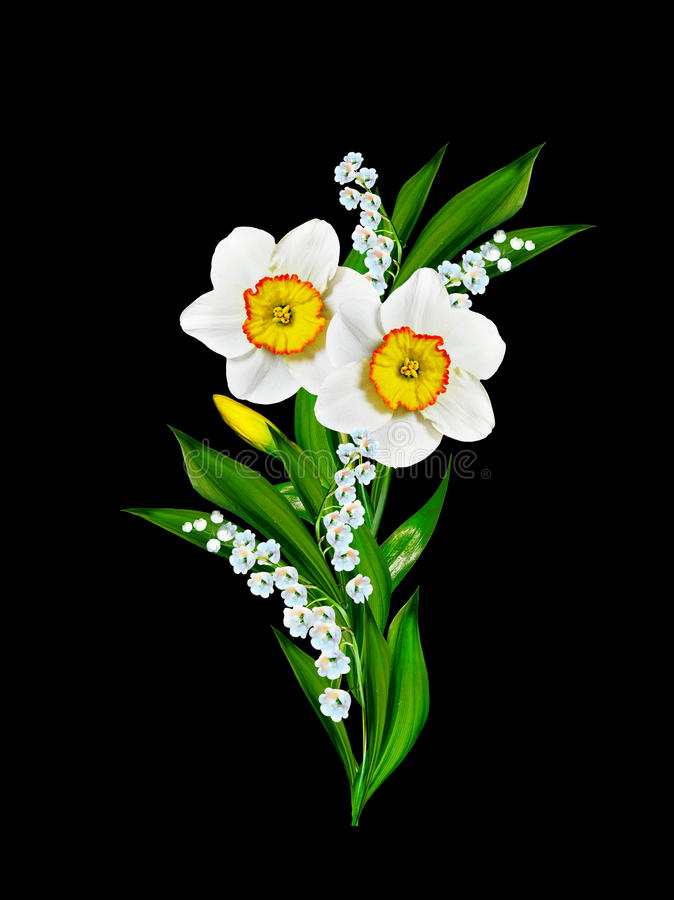 Spring flowers narcissus. Isolated on black background stock photos