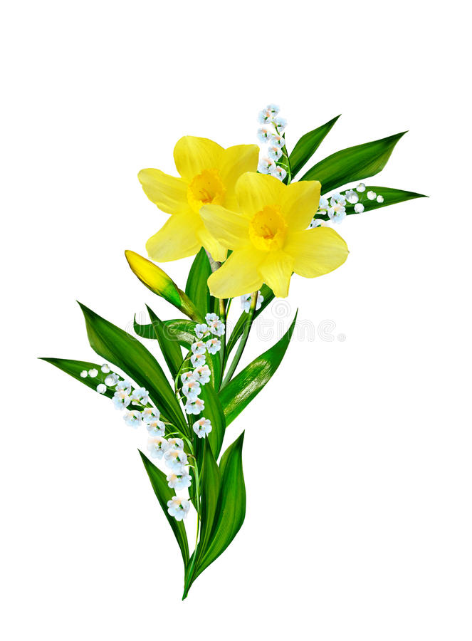 Spring flowers narcissus. Isolated on white background stock images