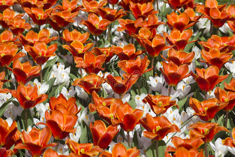 Spring flowers in the Netherlands royalty free stock image