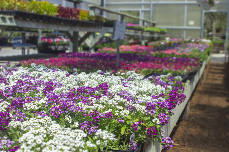 Spring flowers open air freshly organized with organic growing in michigan seasonal planter racks in greenhouse of local plants. Copyspace in top right royalty free stock photography