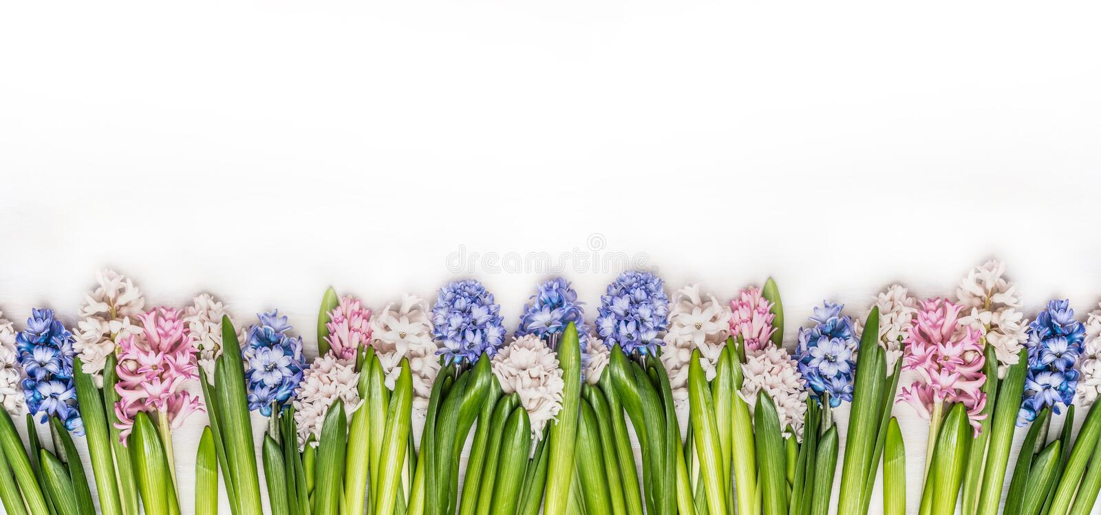 Spring flowers panorama with fresh colorful Hyacinths on white wooden background, top view. royalty free stock photography