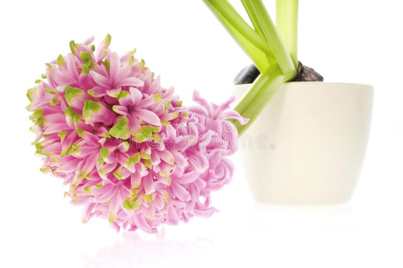 Spring Flowers. Pink Hyacinth Free Stock Images