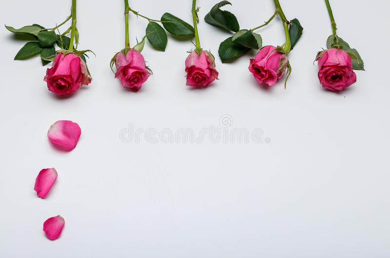 Spring flowers - pink roses in white background royalty free stock photo