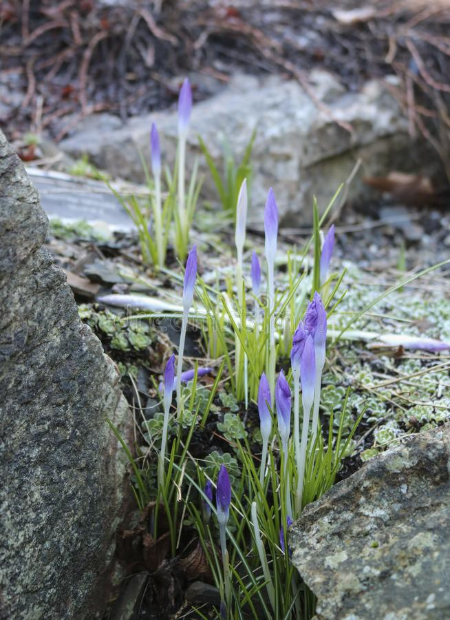 Spring flowers. Plants of the Iris family bloom in the mountains, among stones royalty free stock photography