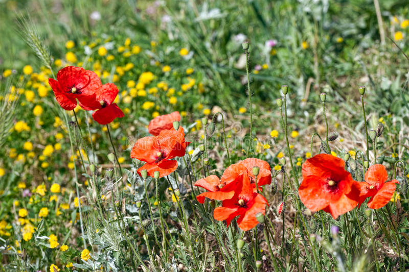 Download Spring flowers - Poppy stock photo. Image of weed, beauty - 14970284