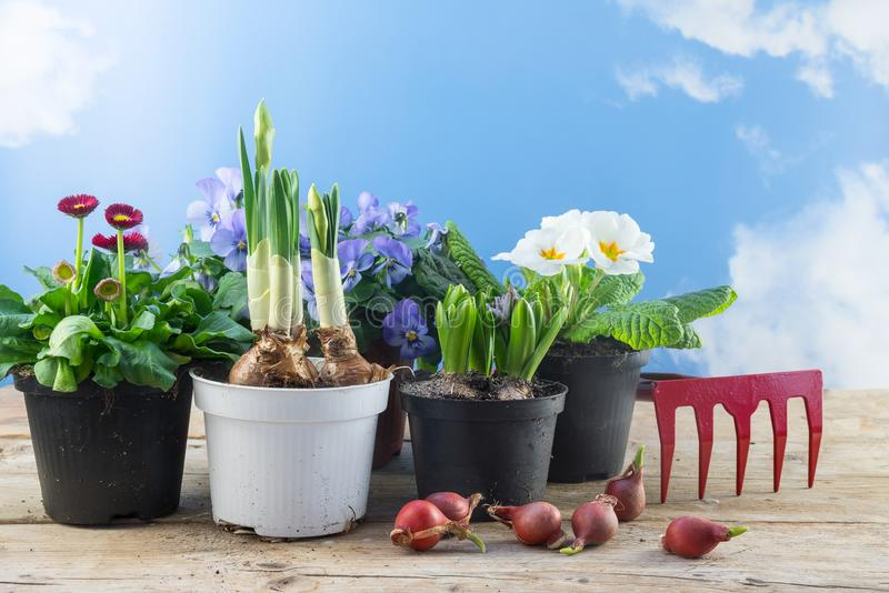Spring flowers in pots and some flower bulbs on rustic wooden bo royalty free stock photo