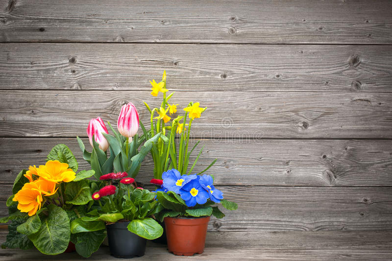 Spring flowers in pots on wooden background royalty free stock images