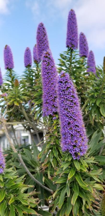 Spring Flowers - Pride of Madeira against the Blue Sky. Beautiful spring flowers in a San Diego California garden - a planting of perennial purple Pride of royalty free stock photos