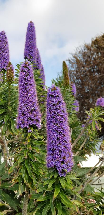 Spring Flowers - Pride of Madeira against the Blue Sky. Beautiful spring flowers in a San Diego California garden - a planting of perennial purple Pride of stock photography