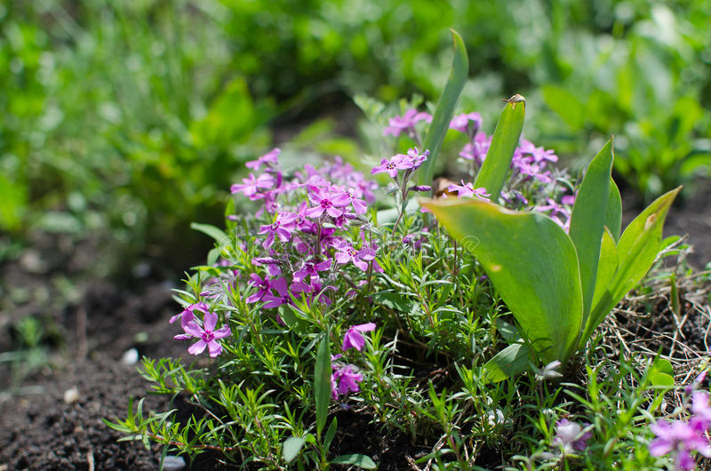 Spring flowers, purple, macro, summer Greens royalty free stock photo