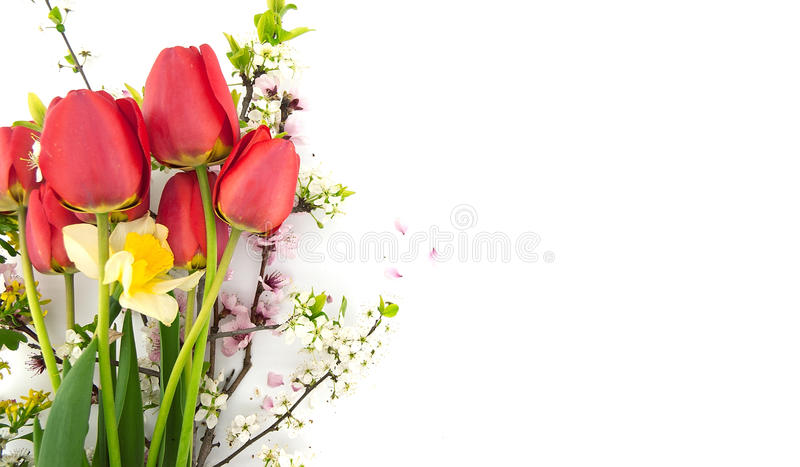 Spring flowers, red tulips, daffodil and blossoming branches. Isolated on white background with space for greeting message. Mother's Day and spring background stock photo