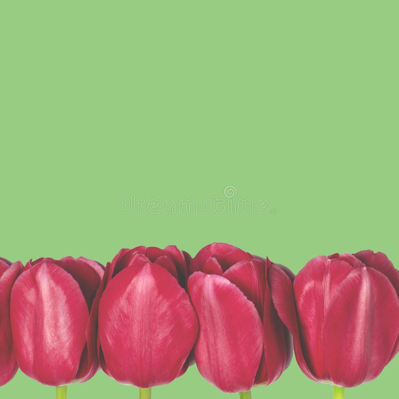 Spring flowers-red tulips with green stalks lie on a white background. closeup. Fresh spring flowers in the garden with soft sunlight for your horizontal floral royalty free stock image