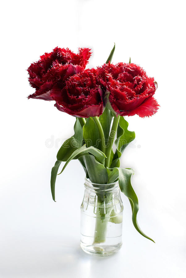 Spring flowers red tulips ina vase. Spring beautiful flowers red fluffy tulips in glass jar on a white background royalty free stock photography