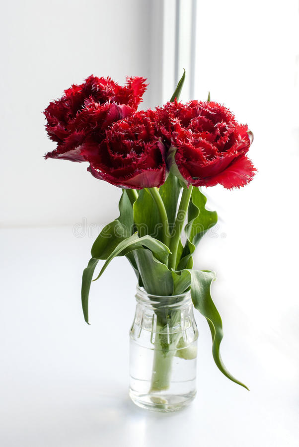 Spring flowers red tulips ina vase. Spring beautiful flowers red fluffy tulips in glass jar on a white background royalty free stock photo