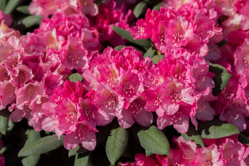 Spring flowers of the rhododendron species. stock photography