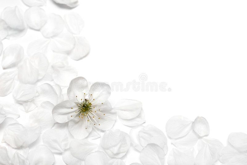 Spring flowers of sakura royalty free stock images