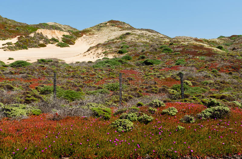 Spring flowers and sand dunes in Big Sur royalty free stock images