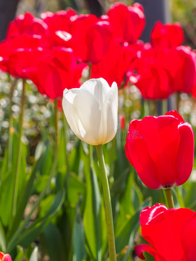 Spring flowers series, white tulip among red tulips in field royalty free stock photography