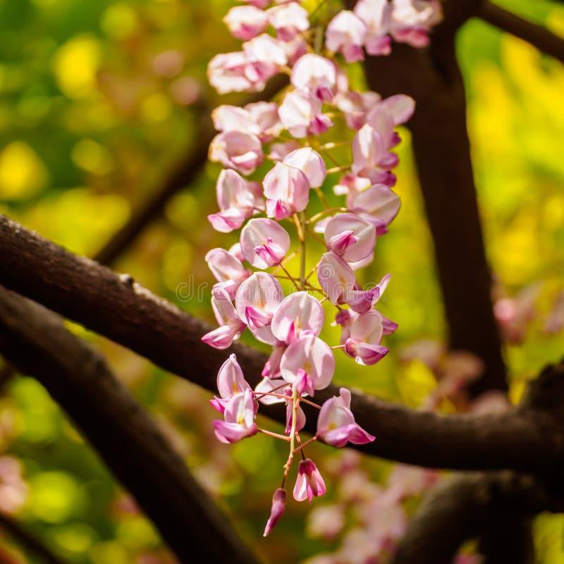 Spring flowers series, Wisteria trellis royalty free stock photo