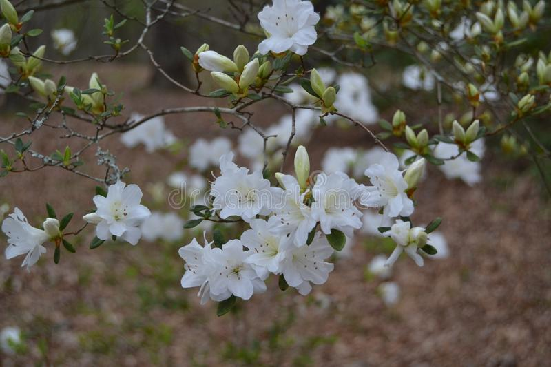 Spring flowers in southern United States. Blossoming tree with spring flowers in the southern United States stock images