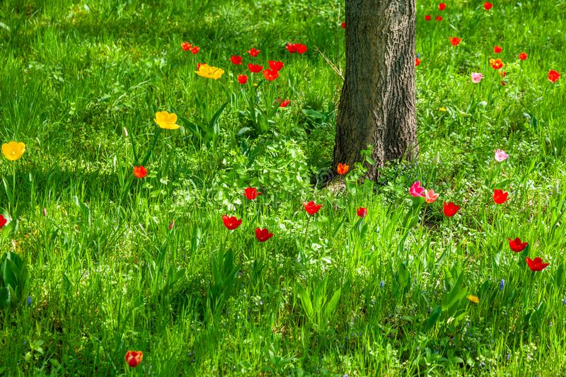 Spring flowers and tree trunk in meadow. Early spring flowers in a grass meadow with a tree trunk stock photography