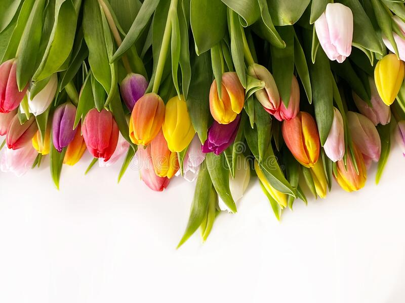 Spring flowers Tulip colorful festive  bouquet  on white  background copy space template royalty free stock photo
