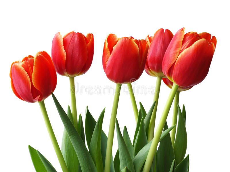 Download Spring Flowers - Tulips Stock Photo - Image: 9434450