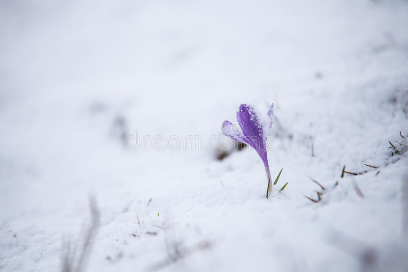Download Spring Flowers Under The Snow Stock Image - Image: 51773353