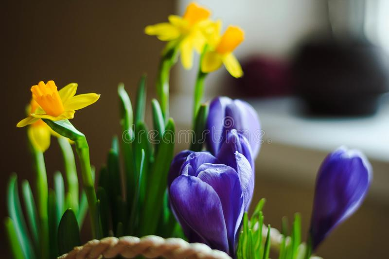 Spring flowers violet Crocus and yellow Narcissus in a basket close-up stock image