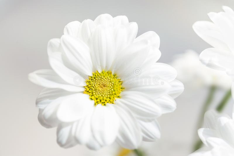 Spring flowers wallpaper. White Gerbera Flower or Daisy flower royalty free stock photography