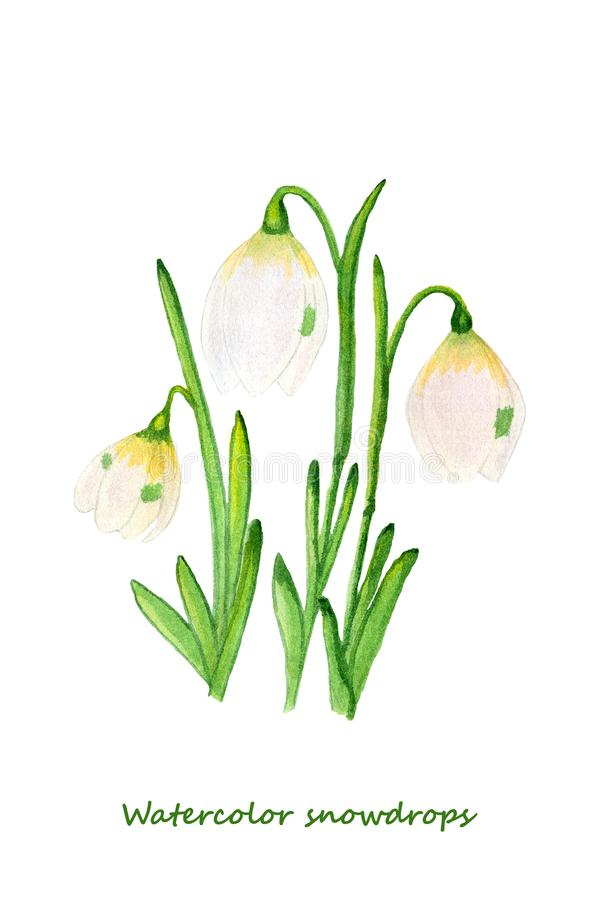 Spring flowers. Watercolor Snowdrops. Design elements for background, banner,holiday card design. Hand painting artistic texture stock illustration