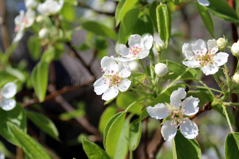 Small flowers of pear blossomed in spring royalty free stock photography