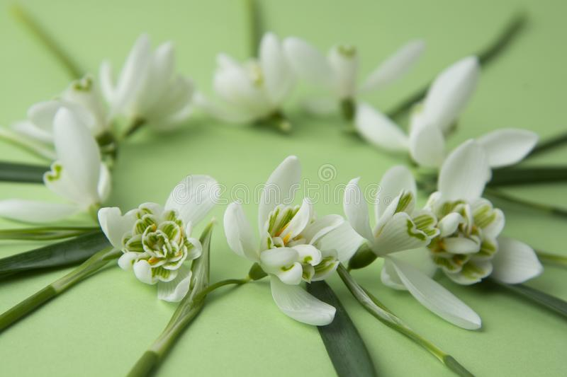 Spring flowers - white snowdrops Galanthus nivalis arranged in circle, on a green background with space for text. Top view, flat royalty free stock photos