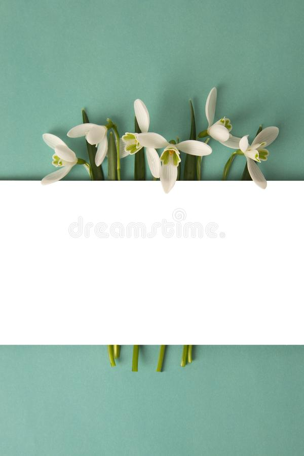 Spring flowers, white snowdrops over blue background. Abstract background for greeting cards. Isolated stock images