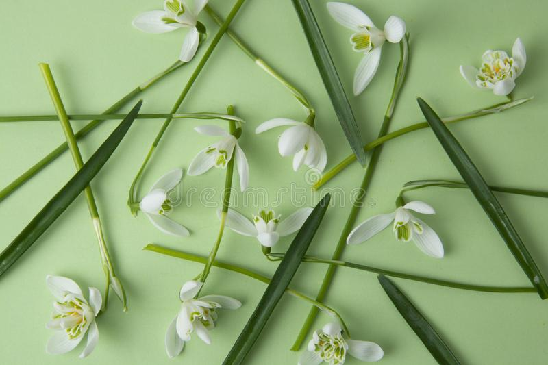 Spring flowers, white snowdrops over green background. Abstract background for greeting cards. flat lay. Creative flower texture stock photo