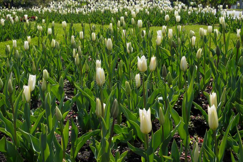 Spring flowers. White tulip flowers growing in the garden.  stock photos