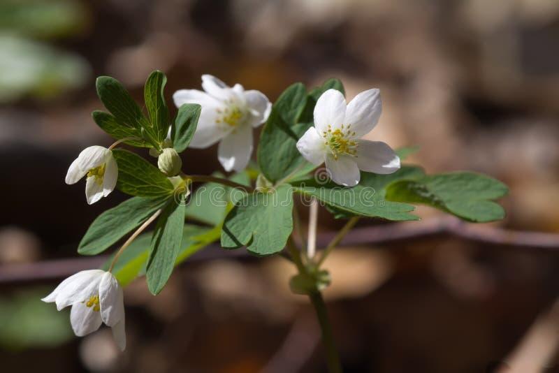 White spring flowers of Anemone nemorosa stock images