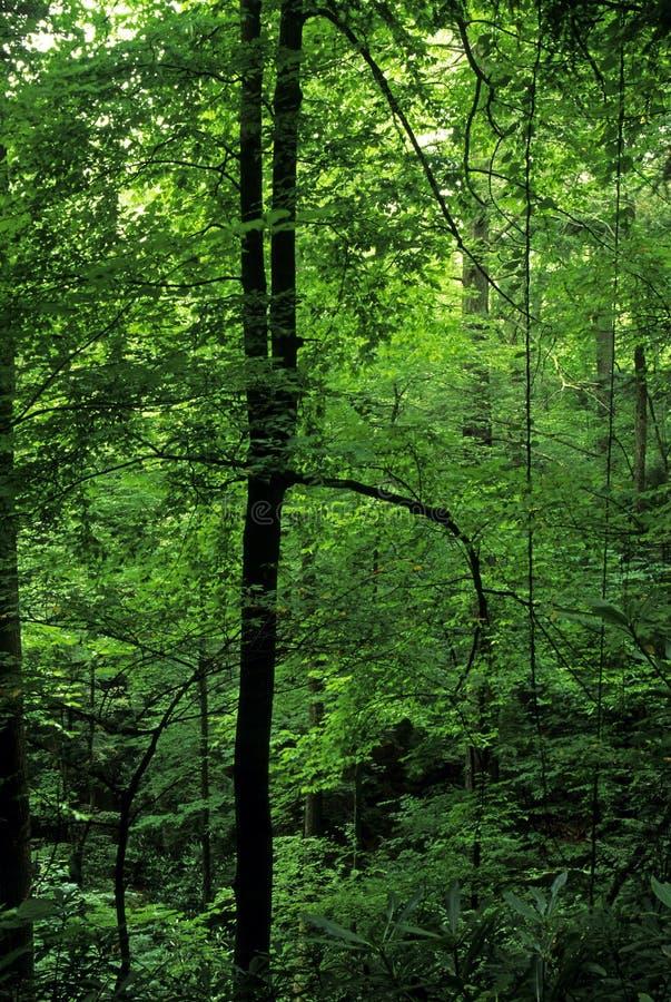 Spring Foliage, Smokies royalty free stock photos