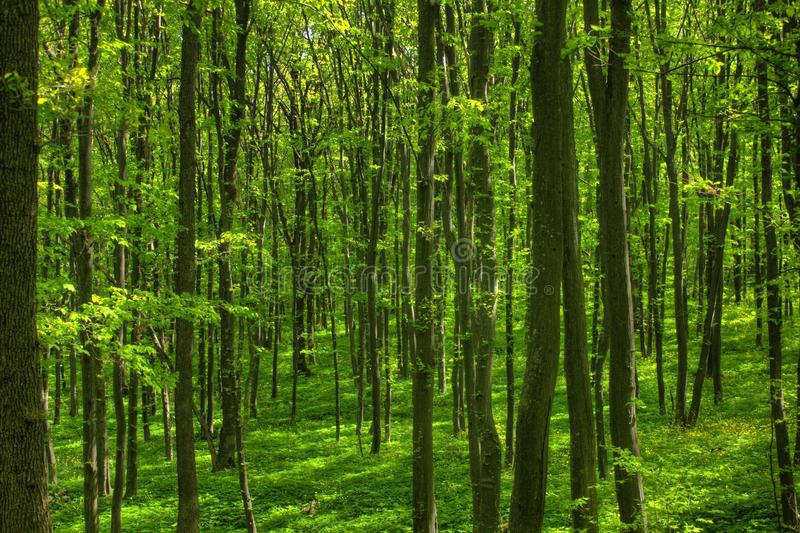Spring forest 1 stock photography