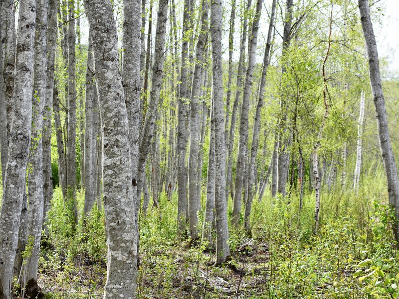 Spring forest with alder trees. Alder tree forest with intensely green new foliage and gray stems stock photography