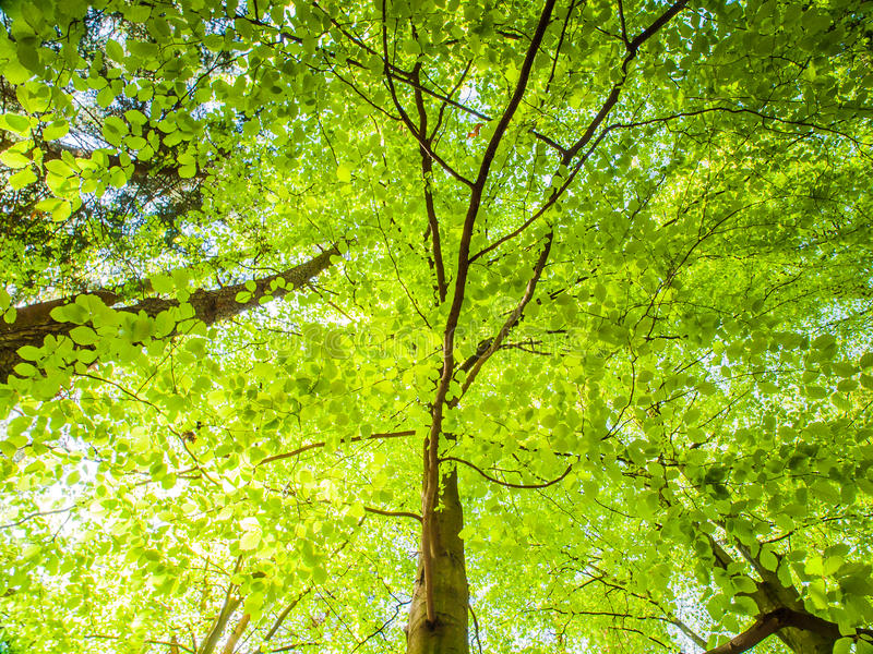 Spring in the forest. Bottom view tree with lush bright green leaves illuminated by sun. Natural background wallpaper.  stock image