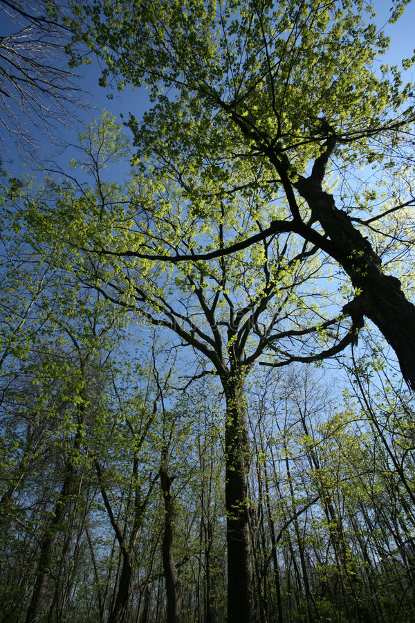 Download Spring Forest Canopy stock photo. Image of bark, tree, stand - 706454