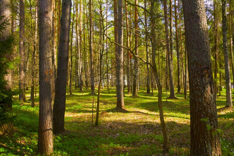 Spring forest in the evening stock photography