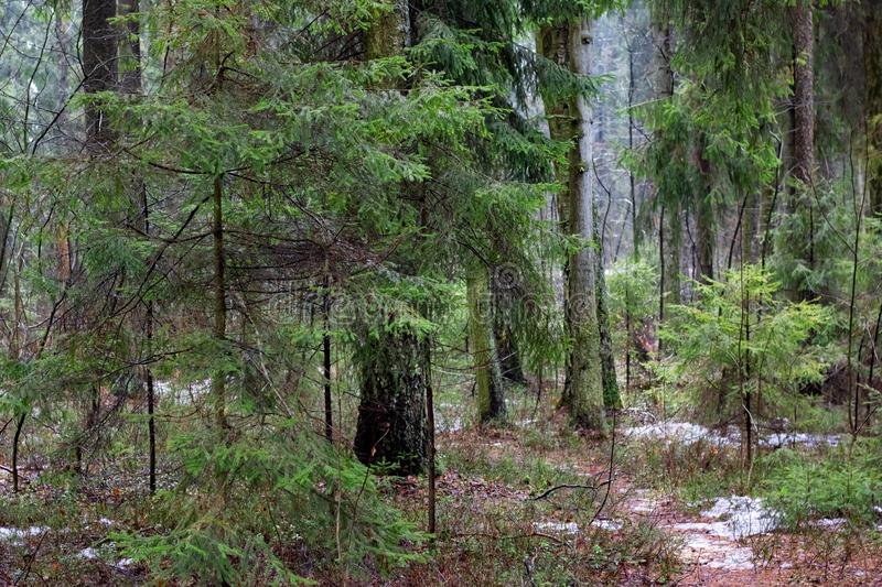 Spring forest with fir trees and grass. Many tree trunks stock image