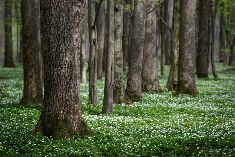 Spring forest with the first flowers royalty free stock image