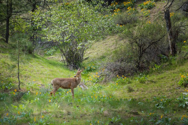 Spring forest landscape with deer standing in sunlight with green grass and wildflowers royalty free stock images