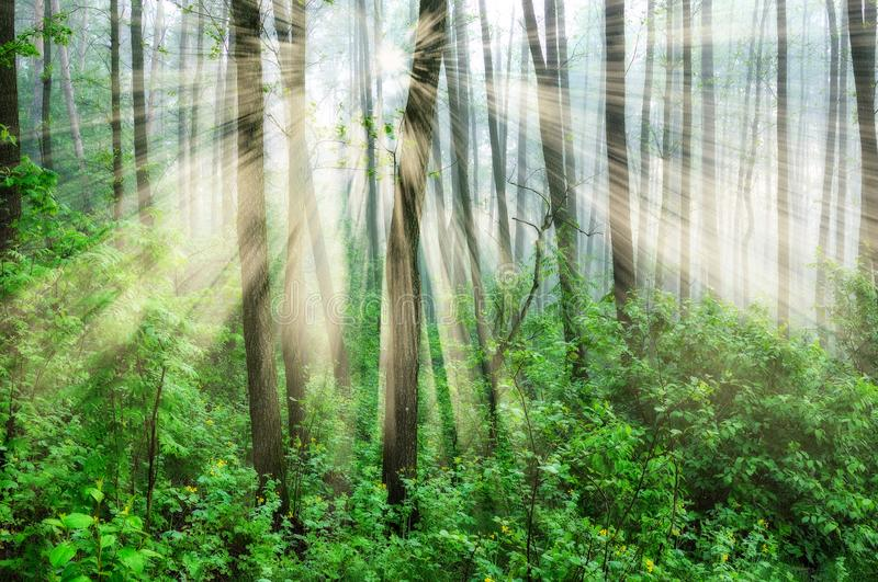 Forest. a misty morning in a picturesque forest. Sun rays. Spring forest. a misty morning in a picturesque forest. Sun rays stock images