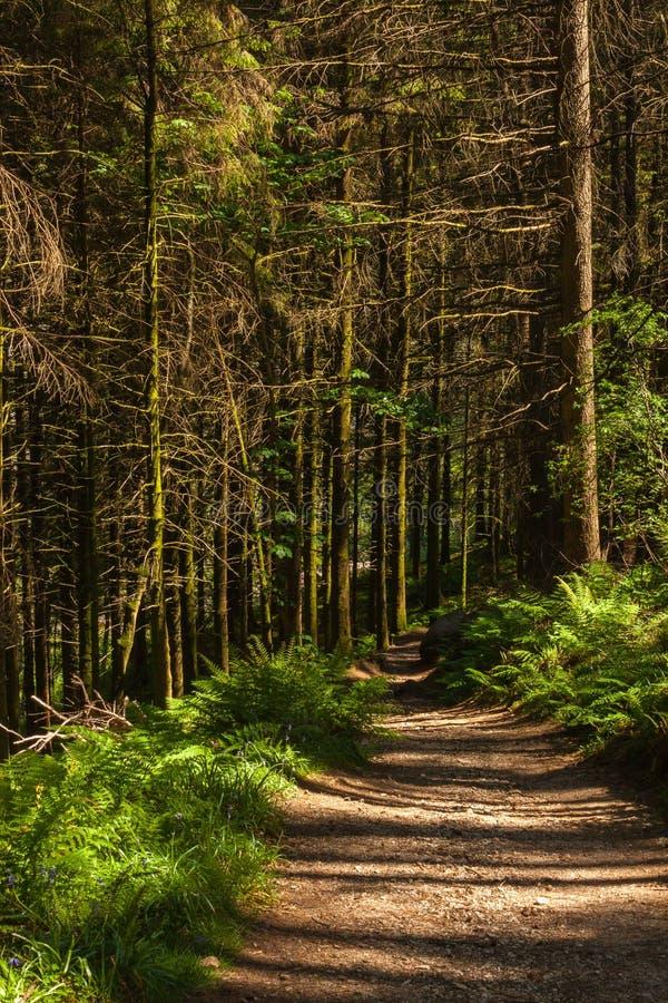 Spring Forest Path. Glenashdale Forest, Arran, Scotland. stock photo